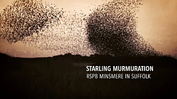 Starling murmuration at RSPB Minsmere video by Tony Pick